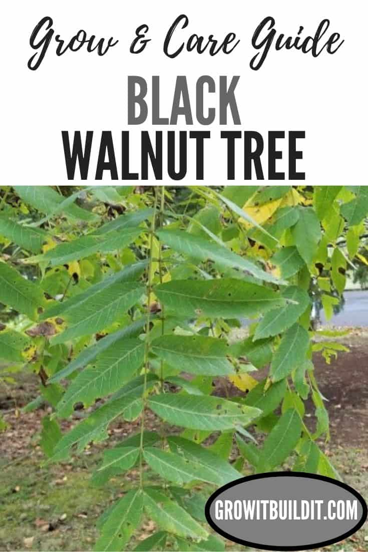 black walnut tree grow and care guide