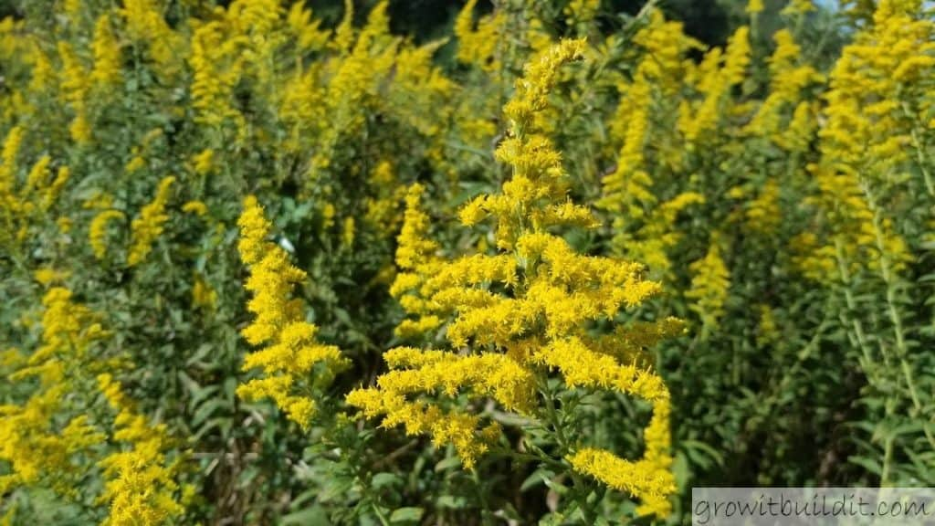 Canadian Goldenrod Bloom solidago canadensis