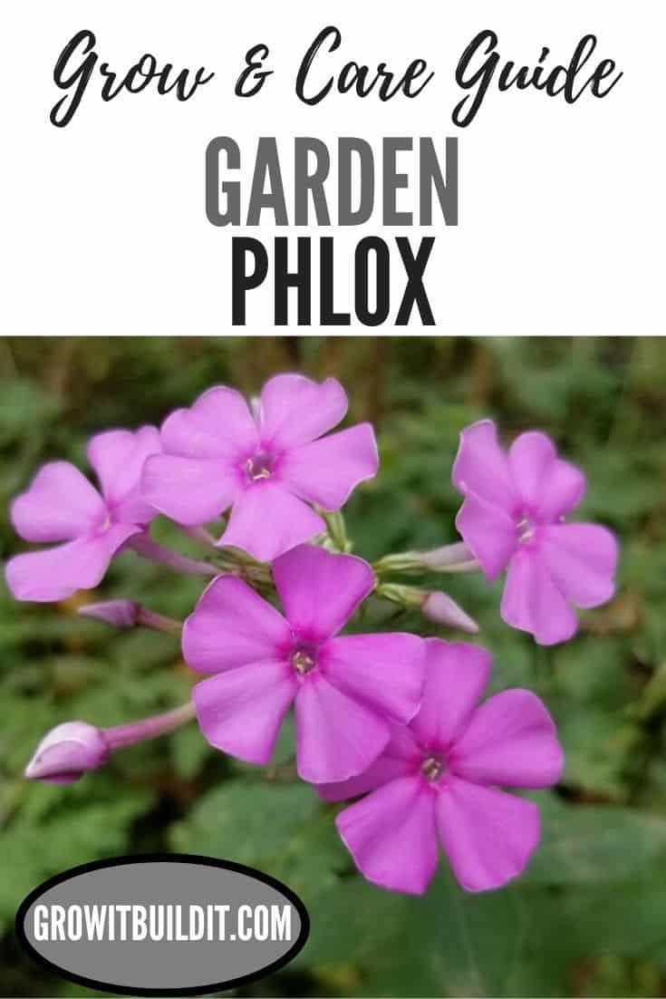 garden phlox grow and care guide