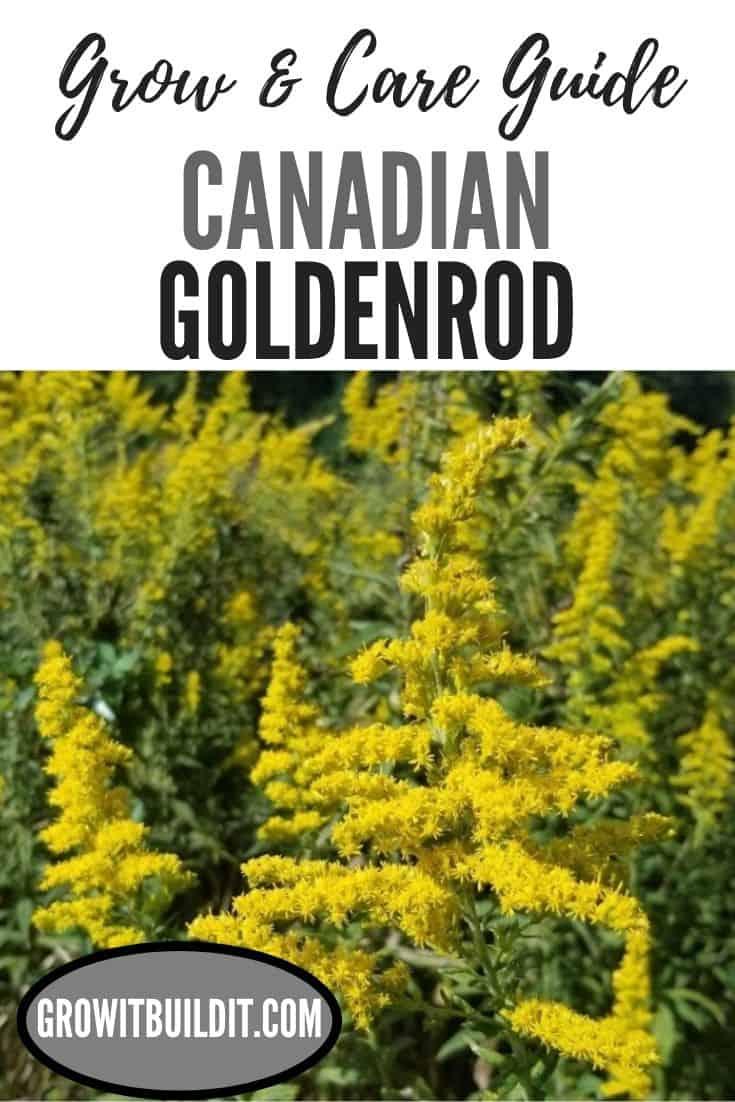 goldenrod canadian