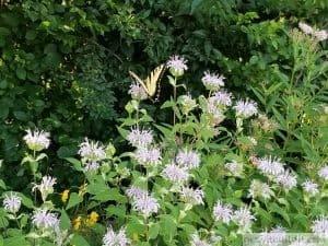 monarda butterfly beebalm