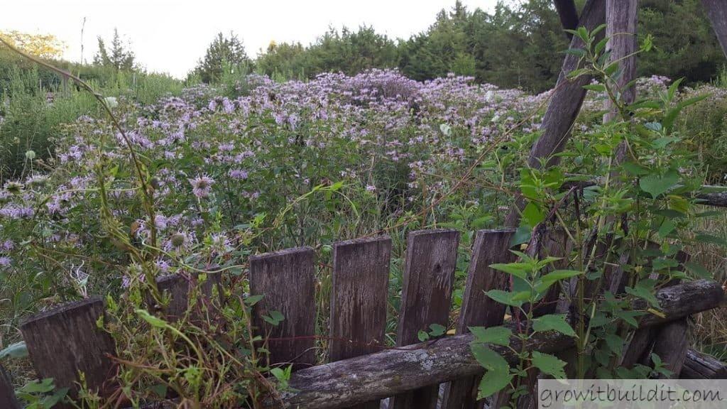 monarda meadow beebalm