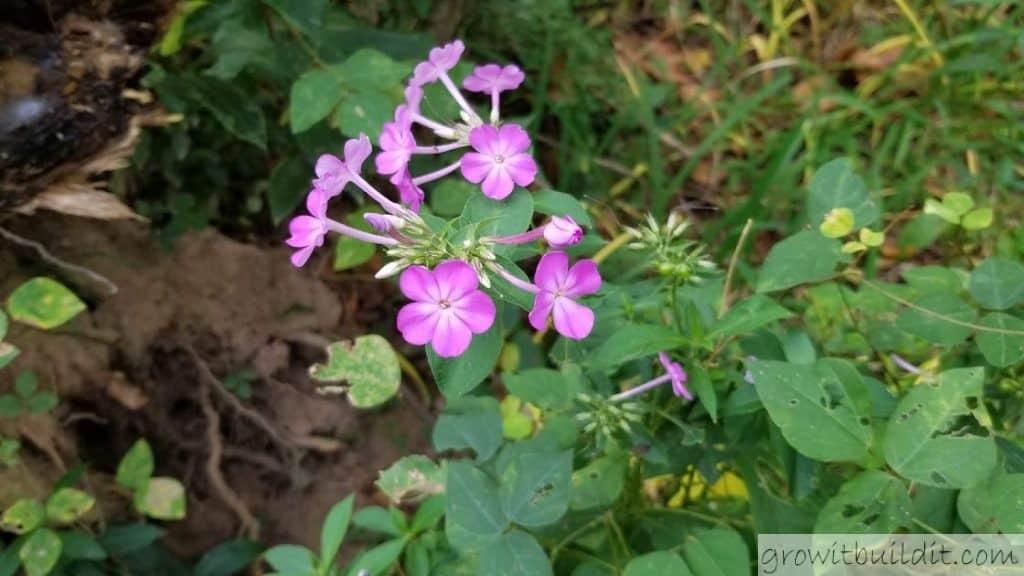 garden phlox bloom flower Phlox Paniculata