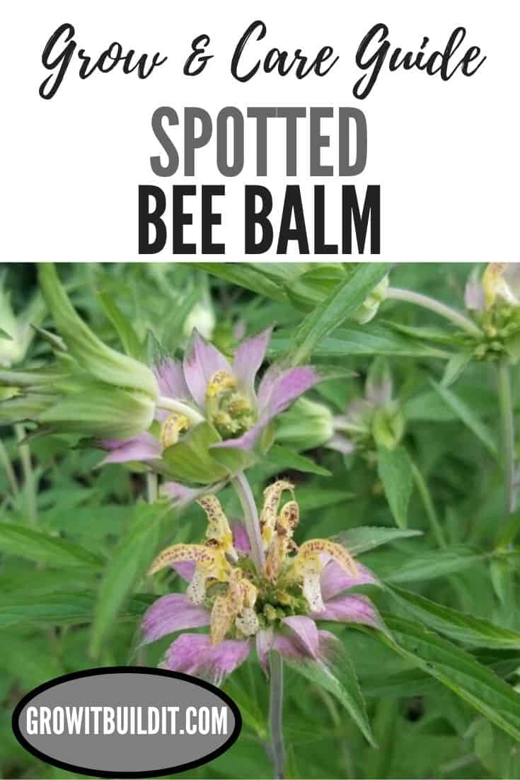 spotted bee balm grow and care guide