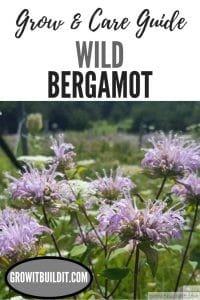 wild bergamot grow and care guide