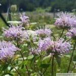 wild bergamot monarda fistulosa