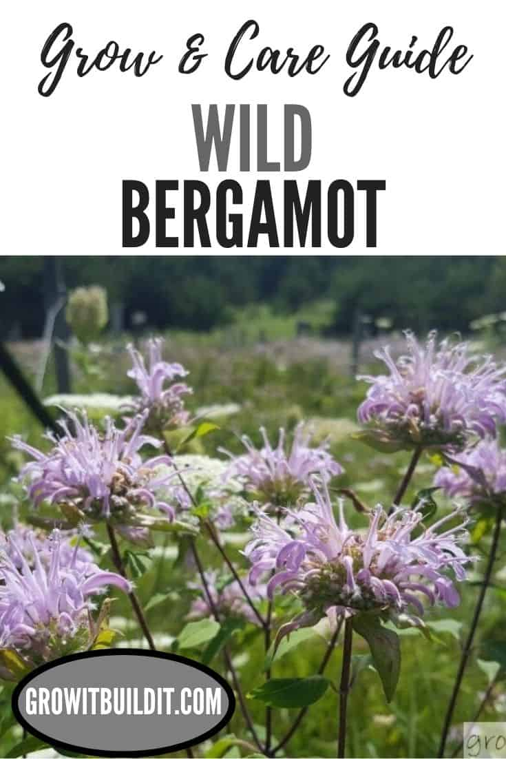 wild bergamot grow and care guide