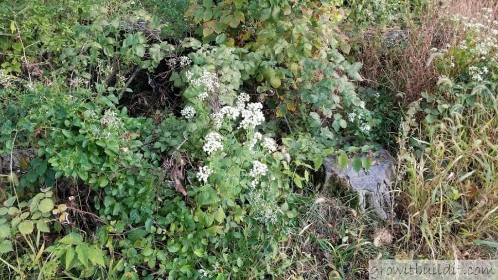 White Snakeroot Facts Identification Growit Buildit