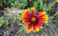 Gaillardia x Grandiflora blanket flower bloom