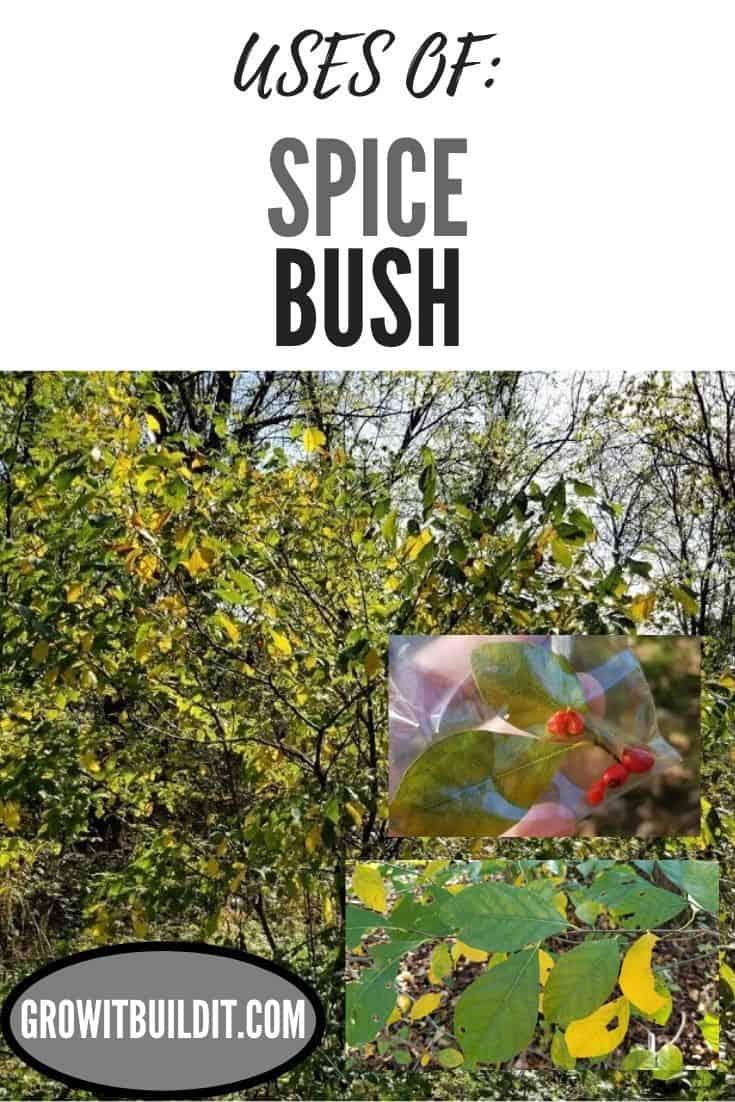 Spicebush uses