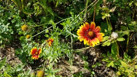 Blanket Flower Bloom Gaillardia x Grandiflora