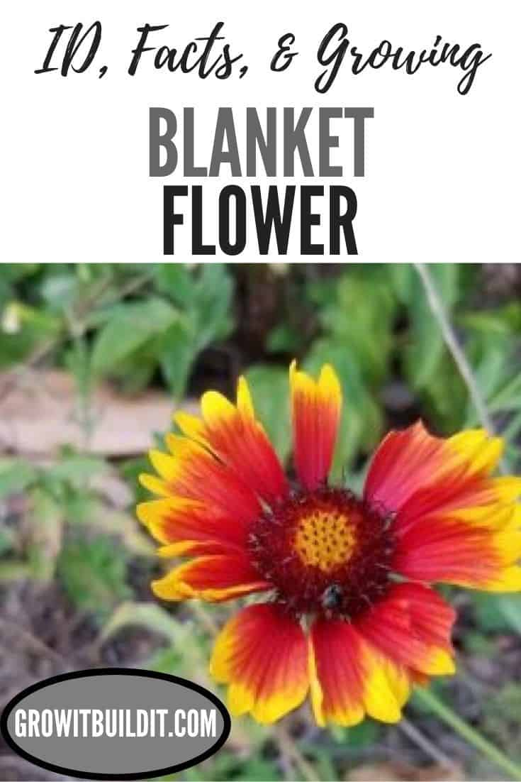blanket flower - Indian Blanket