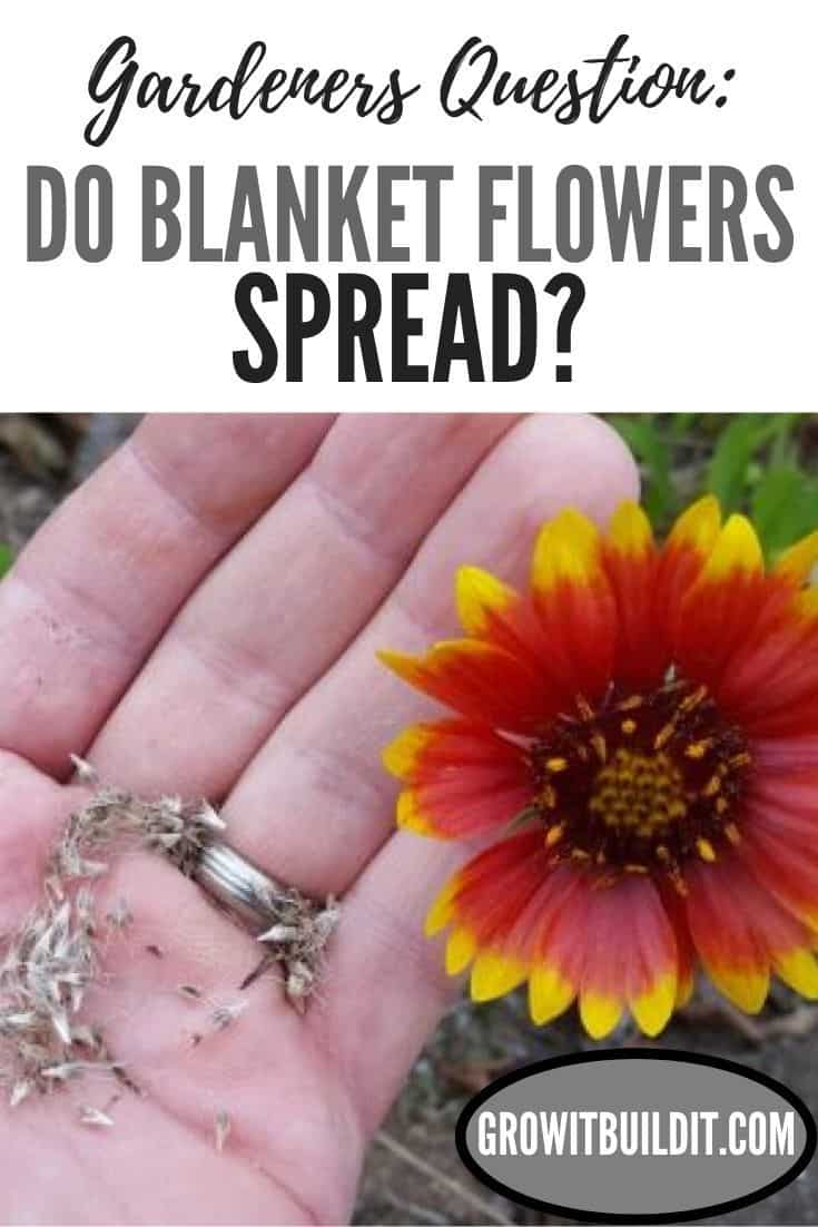 do blanket flowers spread