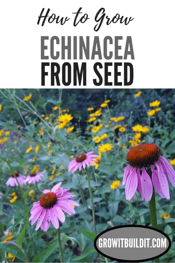 echinacea how to grow from seed