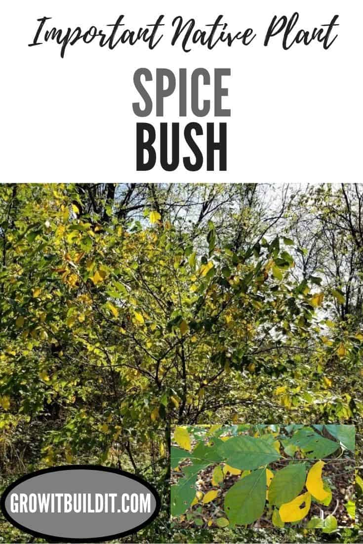 spice bush important native plant