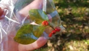Spicebush fruit berries