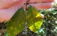 Spicebush Leaf