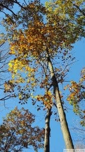 Tulip Tree Autumn