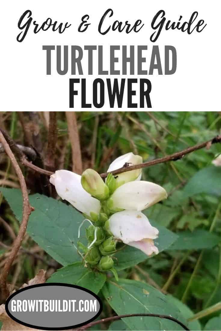 turtlehead flower