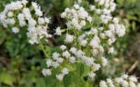 Ageratina altissima flower