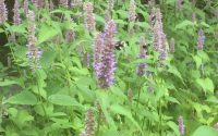 anise hyssop