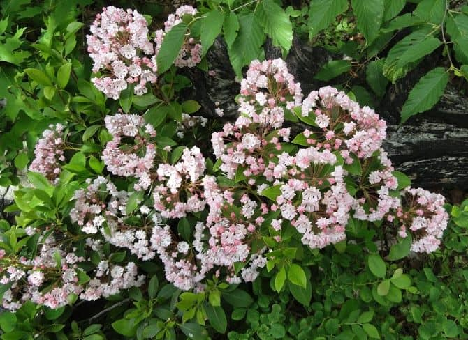 Mountain Laurel Blooming