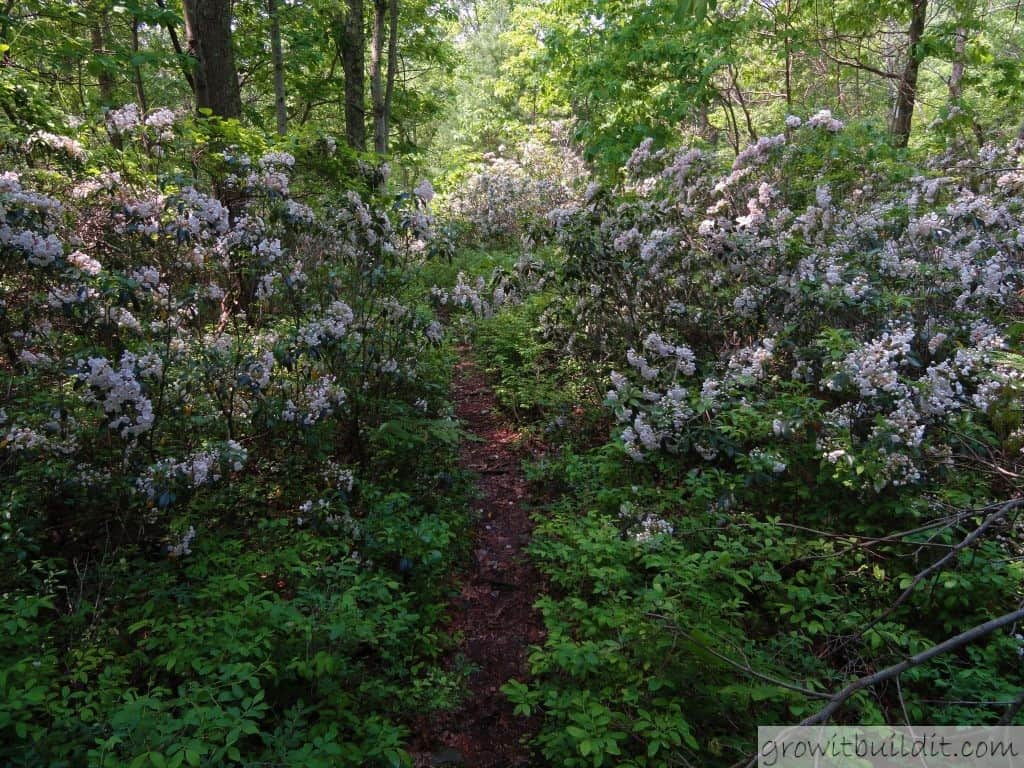 Mountain Laurel Appalachia