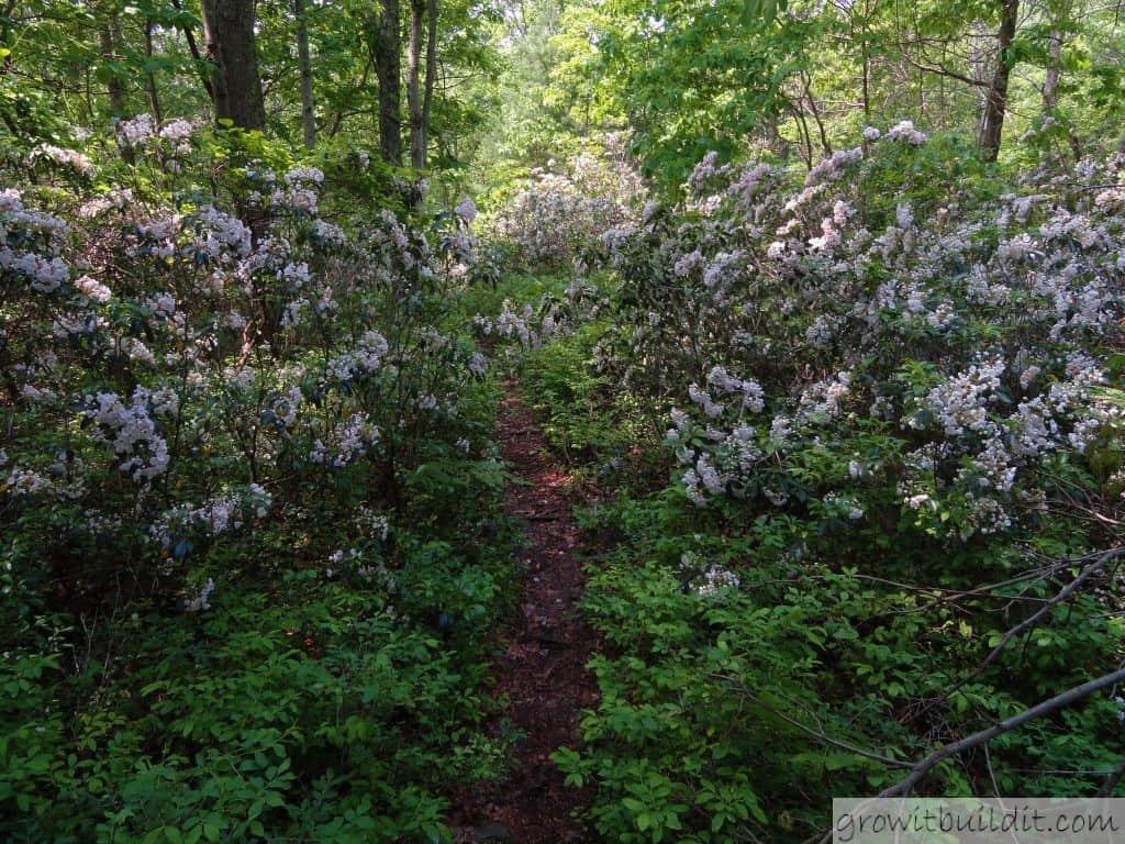 Mountain Laurel How To Grow And Care For Kalmia Latifolia