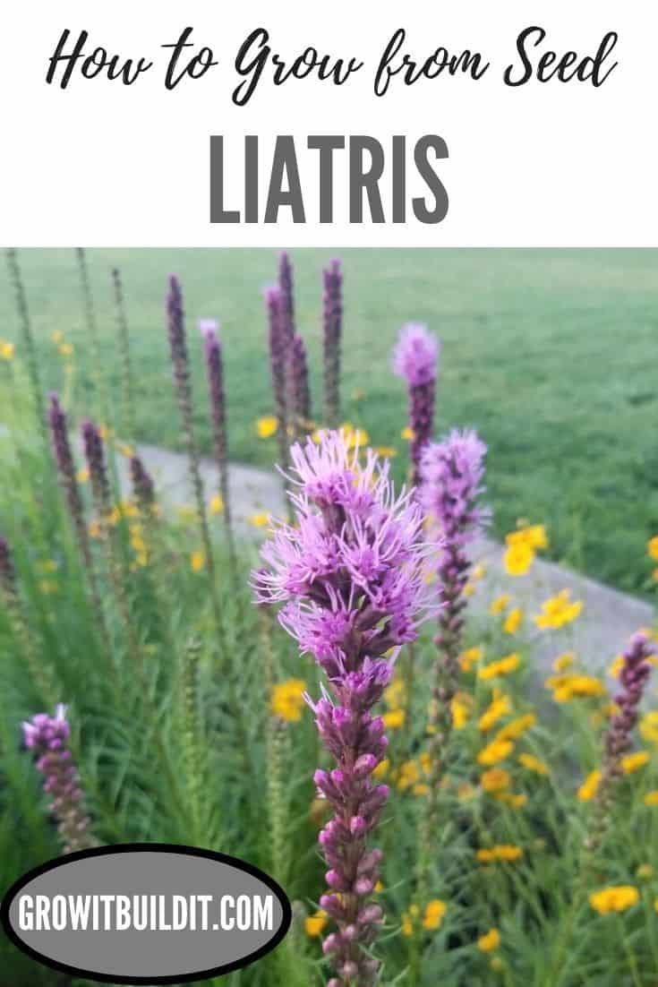 liatris grow from seed