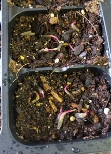 Liatris seeds germinating on the surface
