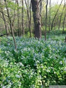 virginia bluebell self seed invasive