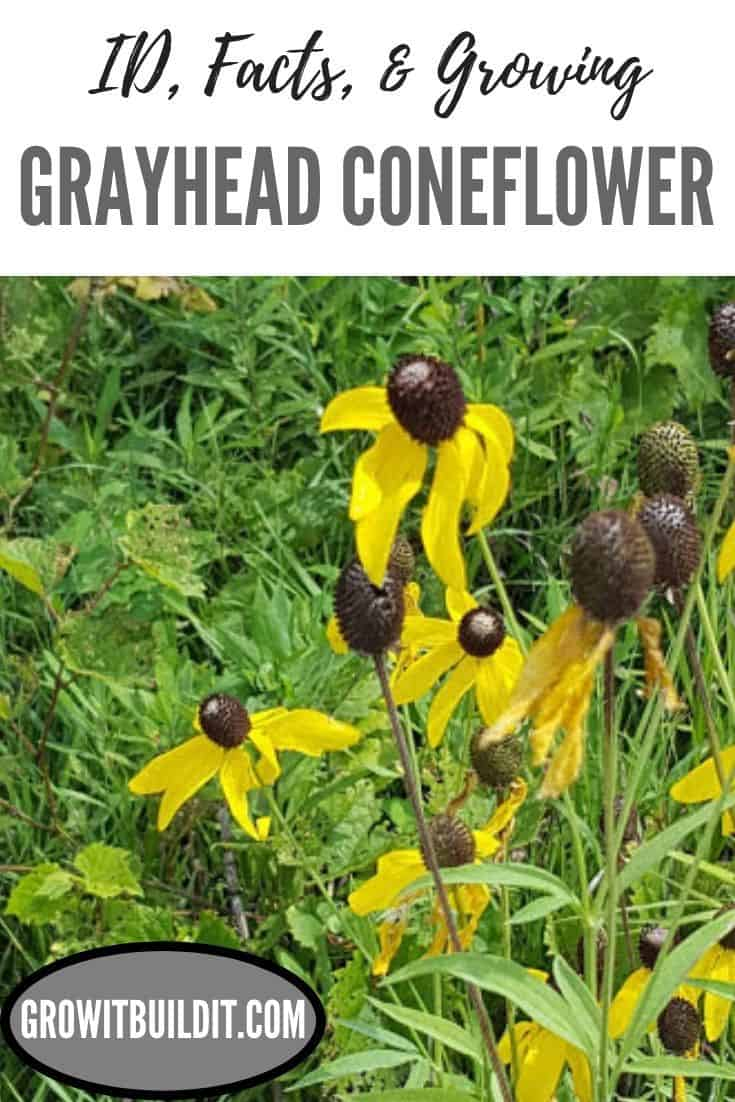 grayhead coneflower