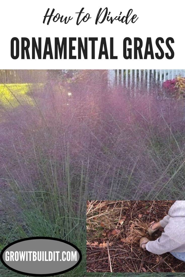 how to divide ornamental grass
