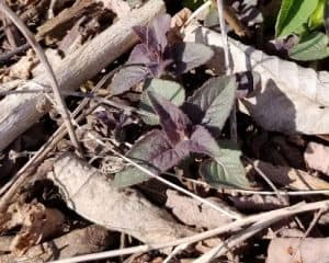 monarda emerge spring