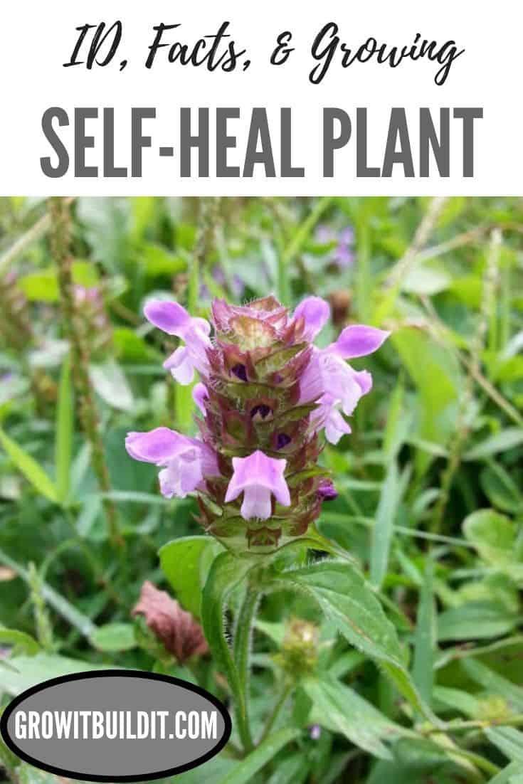 self-heal plant