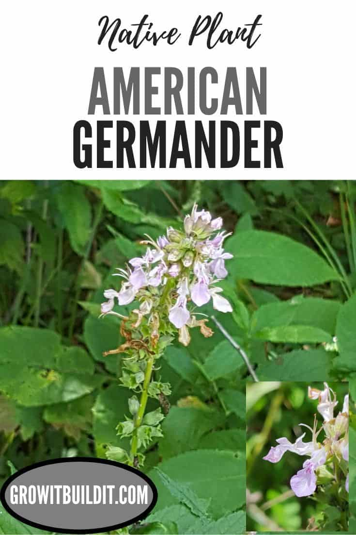 American Germander native plant