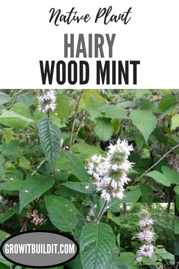 hairy wood mint native plant