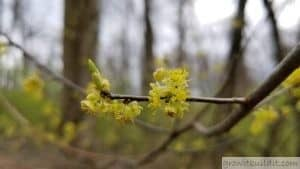 Lindera Benzoin Flower