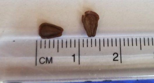 Asclepias Syriaca Seed