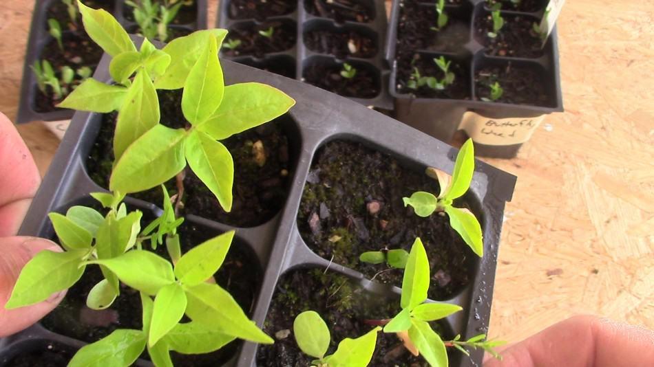 asclepias exaltata seedlings