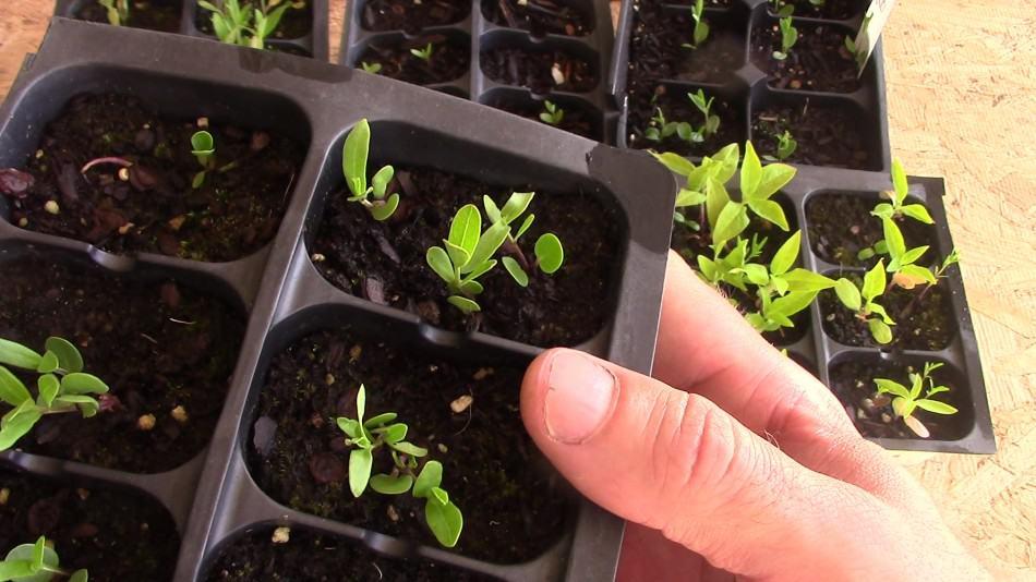 asclepias viridis seedling