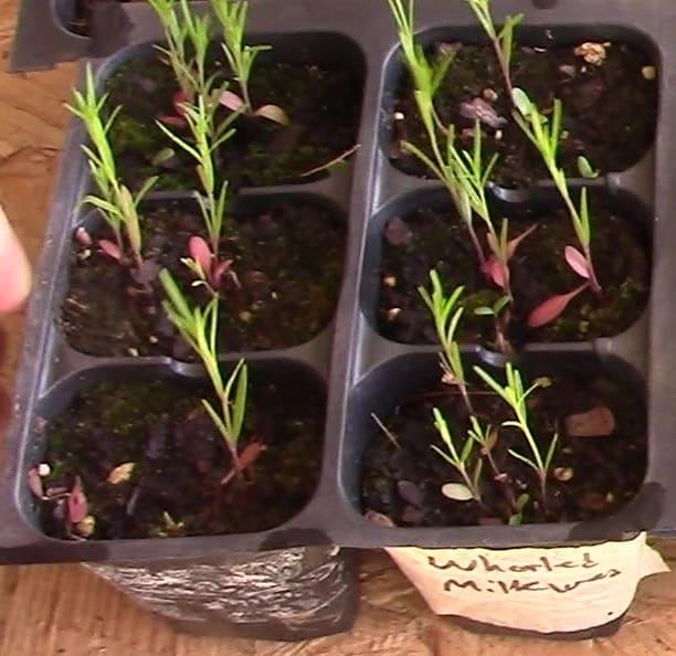 asclepias verticillata seedling
