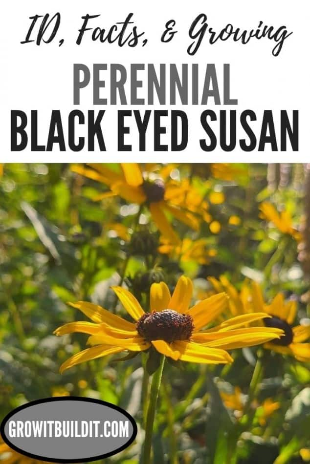 perennial black eyed susan orange coneflower