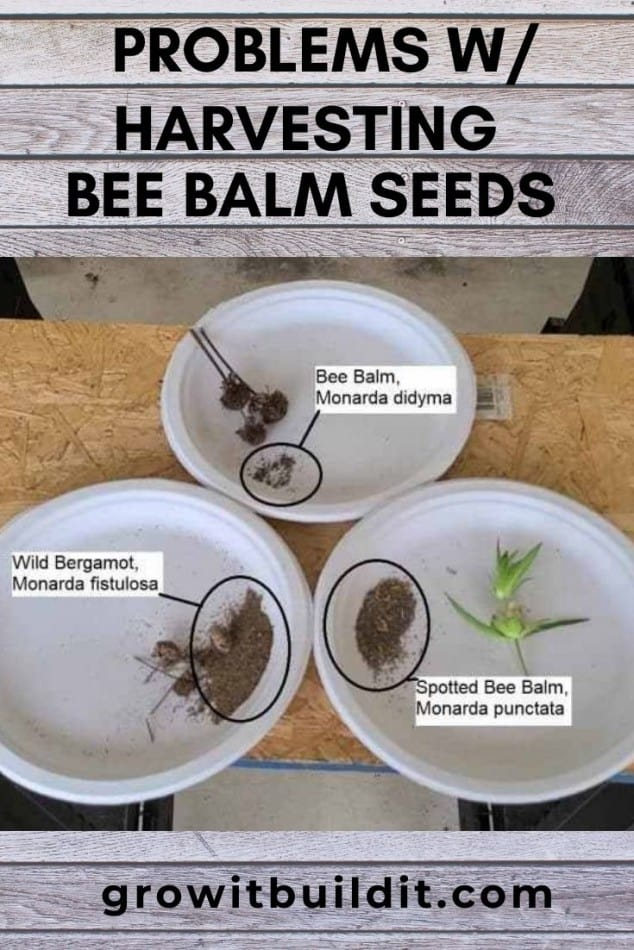 bee balm seeds problems with harvesting