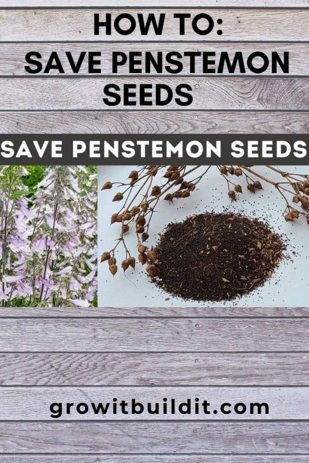 save penstemon seeds