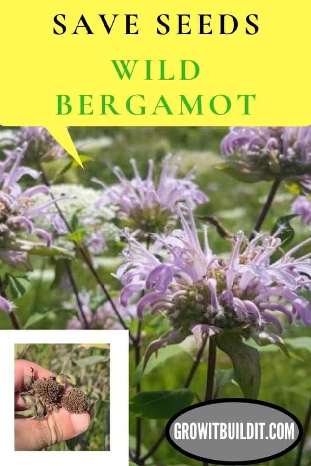 how to save seeds wild bergamot